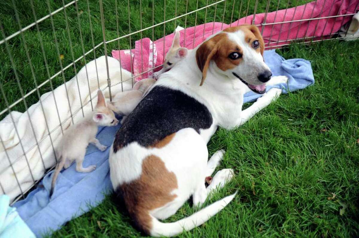 A litter of North African fennec foxes cuddle with Mama, their surrogate mother, at the LEO Zoological Conservation Center in backcountry Greenwich on Wednesday, Sept. 14, 2011. Mama, an American foxhound mix from a shelter in North Carolina, nursed the newborns for five weeks after previous litters from the foxes' mother didn't survive.