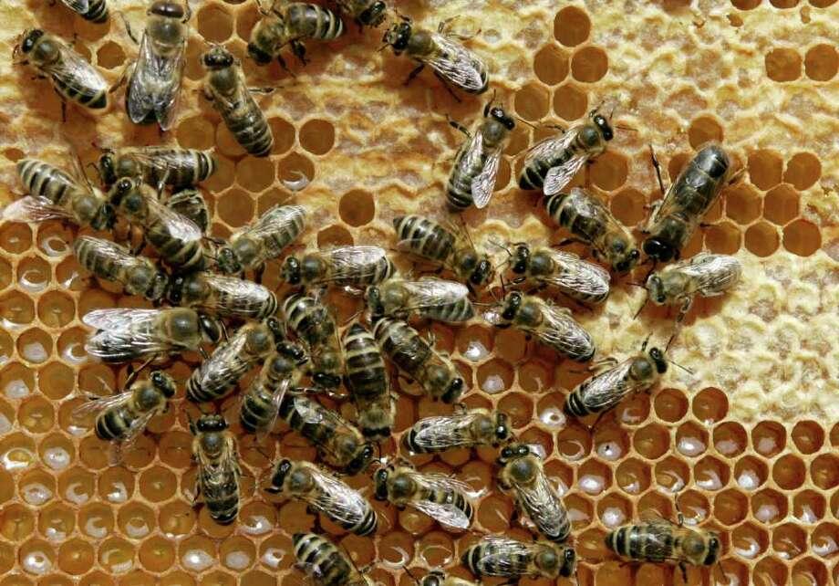 Honey bees sit on a honeycomb. Photo: Heribert Proepper / AP