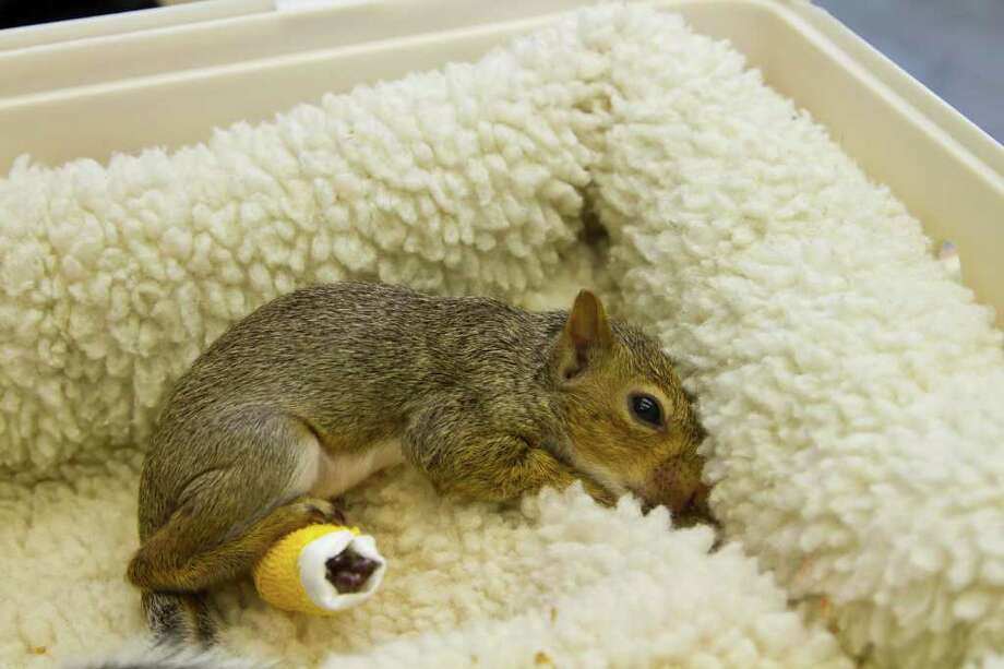 Kathy Adams Clark  TENDER LOVING CARE: A baby squirrel with a cast on its back leg recuperates from injuries at the Texas Wildlife Rehabilitation Coalition's facilities. Photo: Kathy Adams Clark / Kathy Adams Clark/KAC Productions