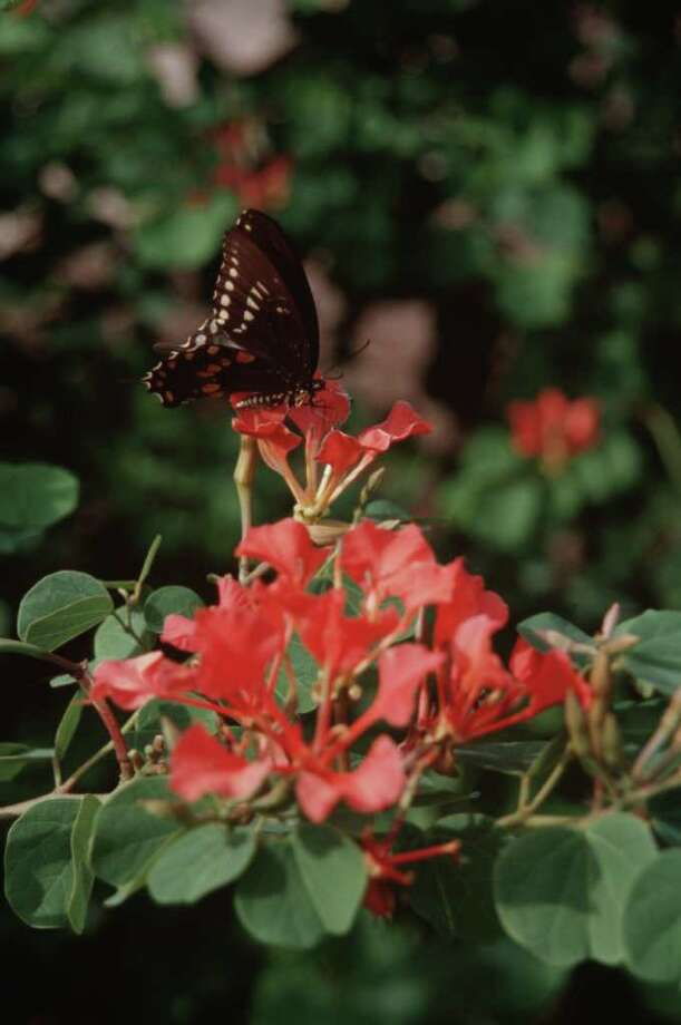 Heidi Sheesley : Treesearch Farms  A SURE LURE: The 3-inch scarlet blooms of African bauhinia attract butterflies to the early fall garden. Photo: Heidi Sheesley / handout