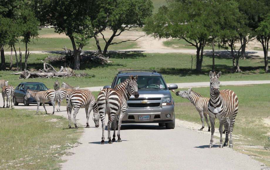 Zebras throng vehicles on Fossil Rim's safari drive. Because zebras can be aggressive, hand-feeding them isn't advised. KATHLEEN SCOTT / SPECIAL TO THE EXPRESS-NEWS