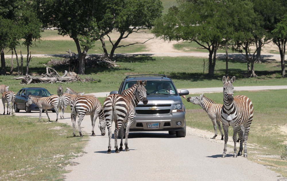 Wildlife Park in Alvin, Texas: Take a visit to the Bayou Wildlife Zoo in Alvin, Texas, and enjoy exploring our wildlife park with an experienced guide from the comfort of a tram.