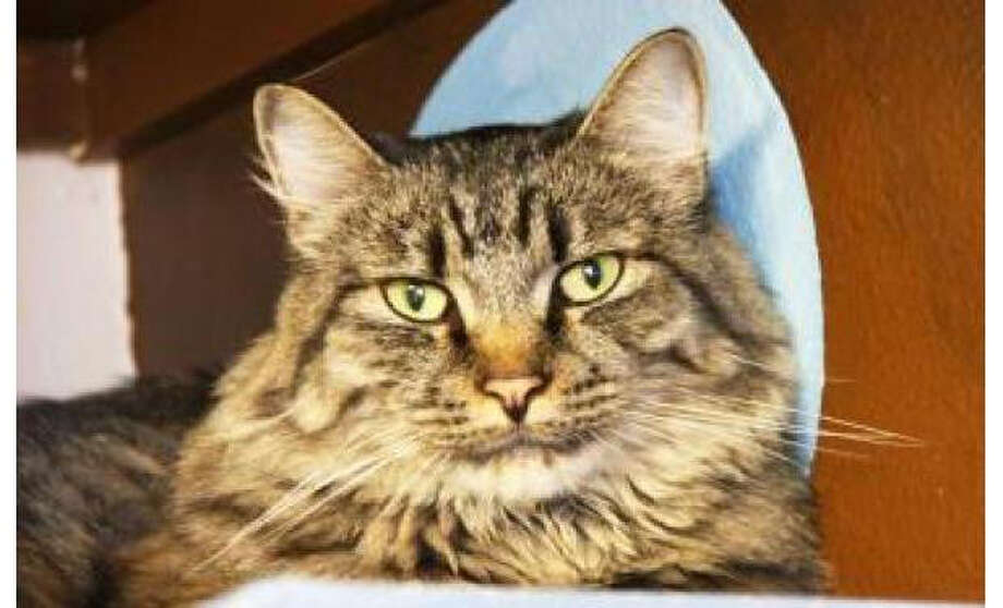 Name: Stella, Breed: Domestic Medium Hair/Mix, Sex: Female, Size: Small, Age: 2 years, 9 months, Adoption Status: Available, Site: http://www.seattlehumane.org/ Photo: Seattle Humane Society