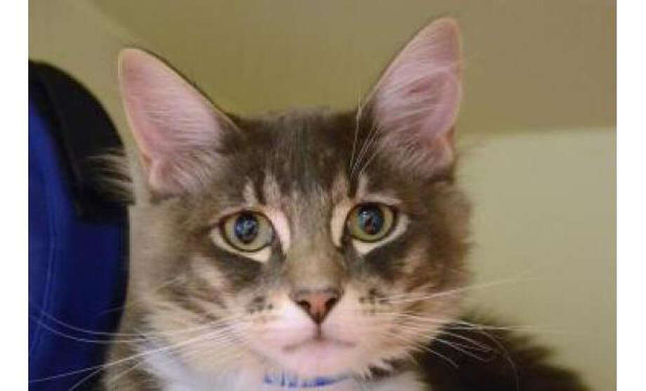 Name:Lilo, Breed: Domestic Medium Hair/Mix, Sex: Male, Size: Small, Age: 5 months, Adoption Status: Available, Site: http://www.seattlehumane.org/ Photo: Seattle Humane Society
