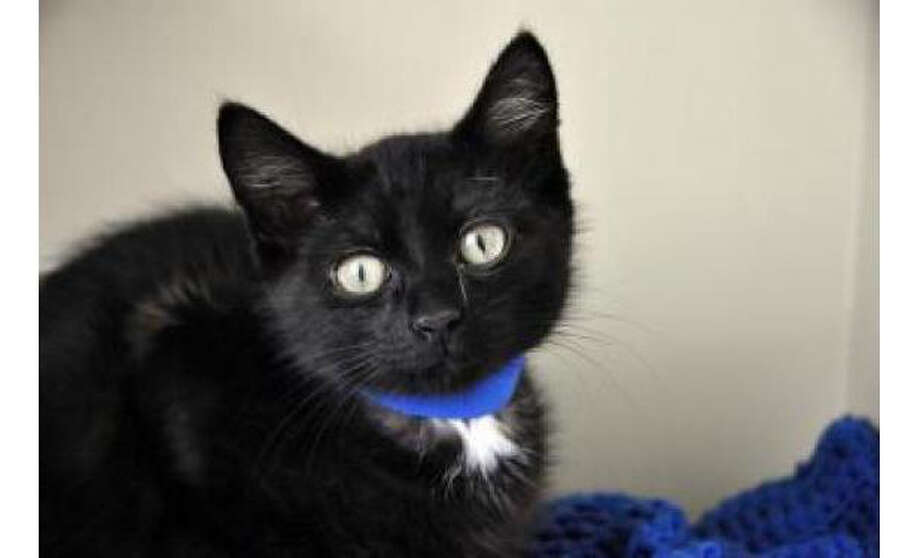 Name: Carter, Breed: Domestic Medium Hair/Mix, Sex: Male, Size: Small, Age: 4 months, Adoption Status: Available, Site: http://www.seattlehumane.org/ Photo: Seattle Humane Society