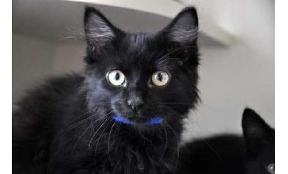Name: Pinto, Breed: Domestic Longhair/Mix, Sex: Male, Size: Small, Age: 4 months,  Adoption Status: Available, Site: http://www.seattlehumane.org/ Photo: Seattle Humane Society