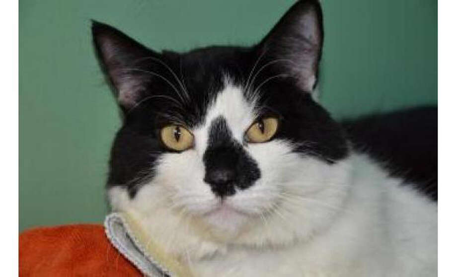 Name: Dommie, Breed: Domestic Medium Hair/Mix, Sex: Male, Size:  Small, Age: 3 years, 4 months, Adoption Status: Available, Site: http://www.seattlehumane.org/ Photo: Seattle Humane Society