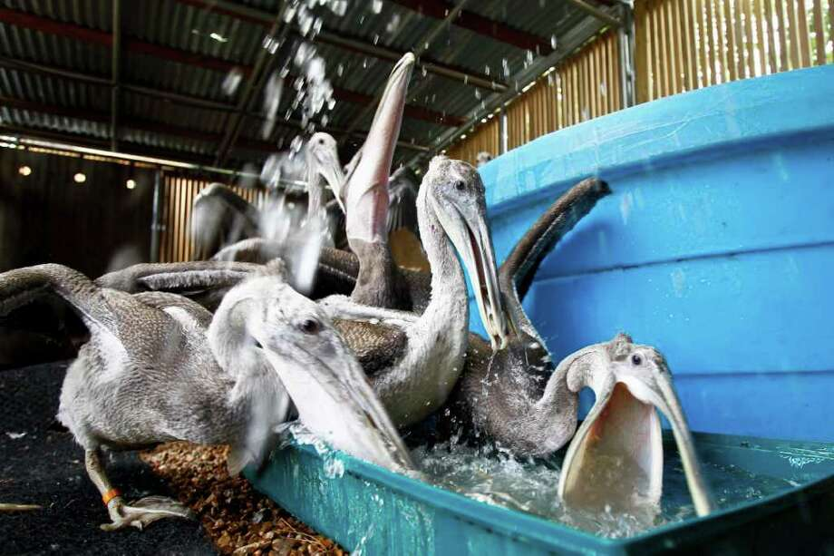 The Wildlife Center of Texas was contacted by the Wildlife Care & Rescue Center in Biloxi, Mississippi to give extended care to thirteen juvenile brown pelicans until they reach full maturity. When Tropical Storm Lee blew through the Gulf of Mexico across the barrier islands on September 3rd, 12 inches of rain hit the Mississippi area causing baby brown pelicans and other birds to be washed ashore along the Pass Christian to the Waveland Beaches. 