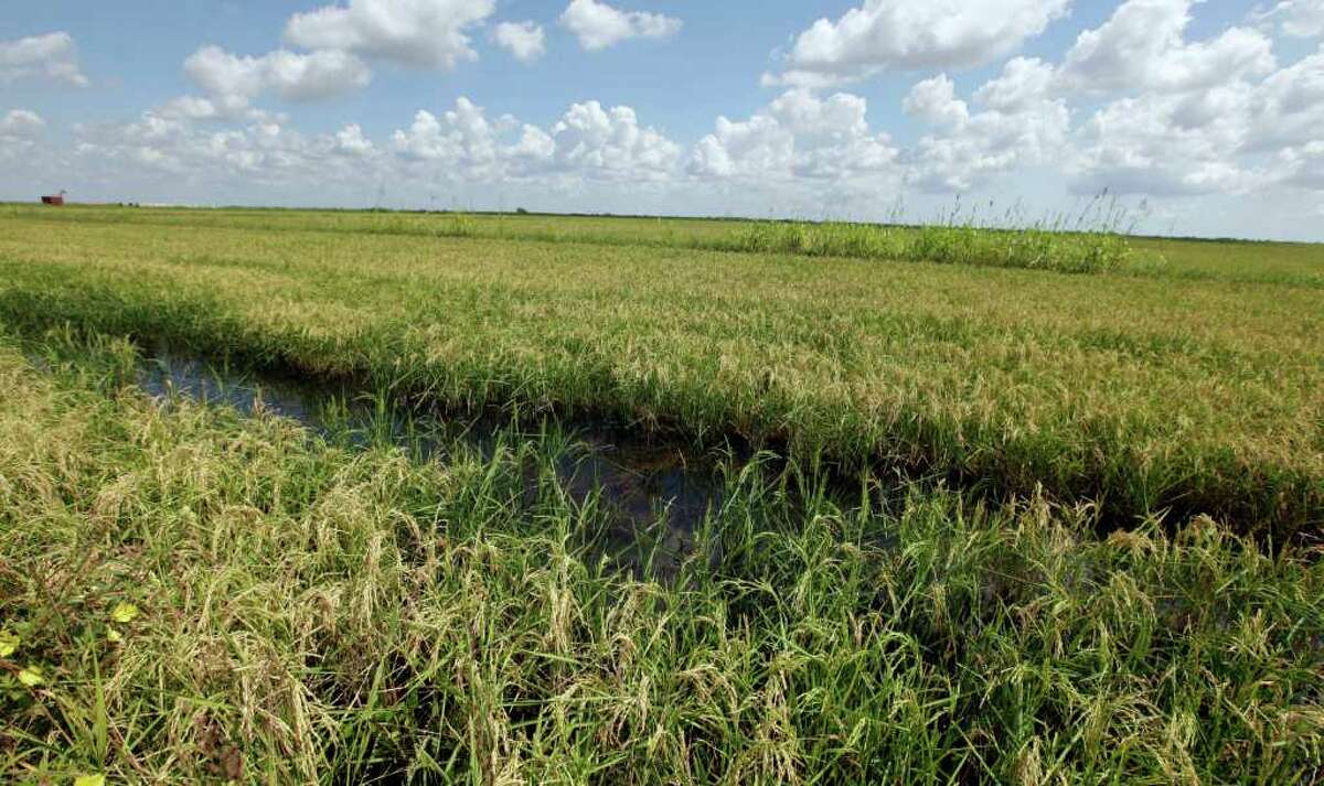 ASSOCIATED PRESS CONCERNS: Officials say rice plantings could be reduced by nearly half if more water does not become available soon.