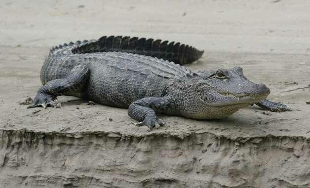 Texas alligators, driven almost to extinction by the 1960s, have rebounded under careful management. Today, at least a half-million gators live in the wetlands along the Texas coast with tens of thousands scattered through the rest of the state. Photo: Shannon Tompkins