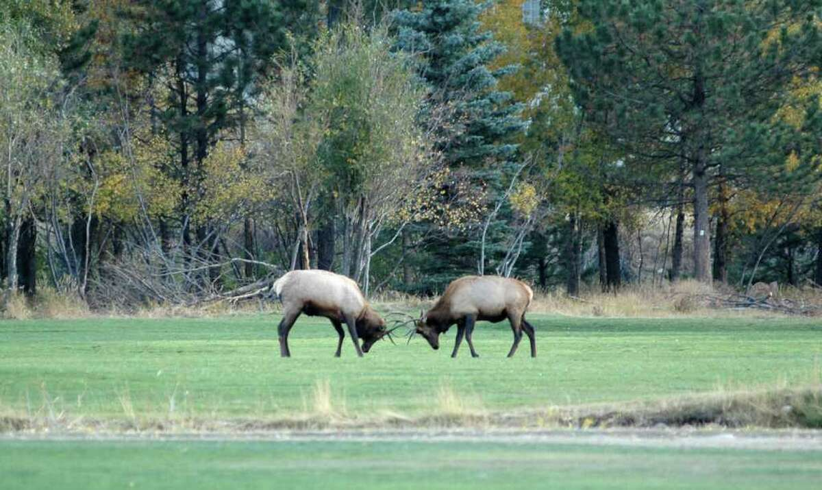 Two bull elk vie for dominance in this AP file photo.