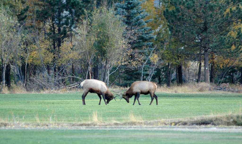 Wild elk destroy 'Danger: Wild Elk' sign at Redwoods National Park