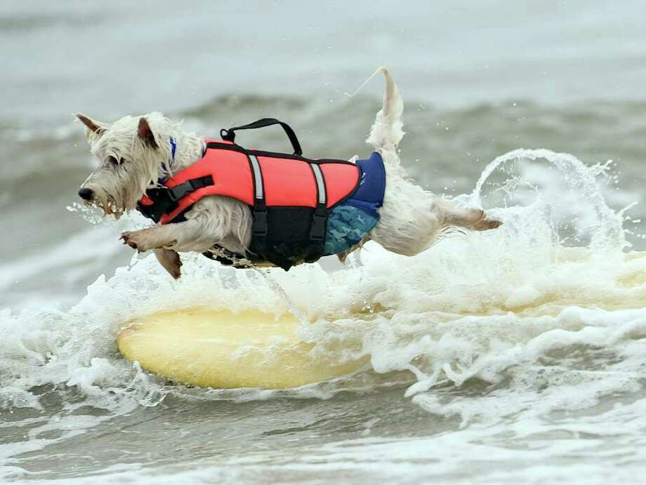 Although Joey, 7, is not near shore, the Westie decides to jump off his board anyway during the Surf City Surf Dog event in Huntington Beach, Calif., Sunday. Photo: Cindy Yamanaka, Associated Press / THE ORANGE COUNTY REGISTER