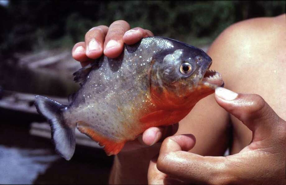 The recent capture of a red-bellied piranha, similar to this one taken in Peru, from a lake in Tom Bass Park in Harris County underscores a growing problem of prohibited, dangerous fish entering and often being released into the state's waterways. But they aren't the only exotic creates to pop up in Texas waterways. Photo: Chronicle File / Handout/email from Eric J Lyman