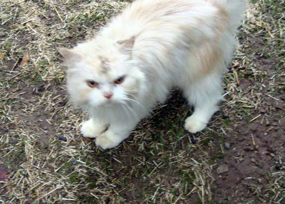 A lost cat was spotted in Darien. Photo: Contributed Photo