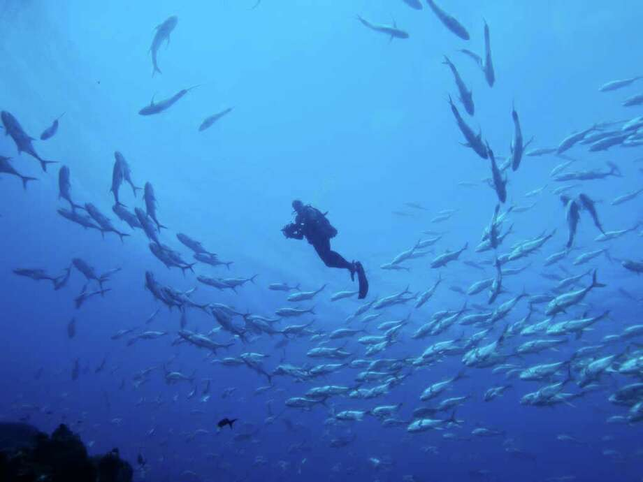 Russell Jacks Diver In A Shoal Of Horse Eyed Jacks At The West Bank Of The