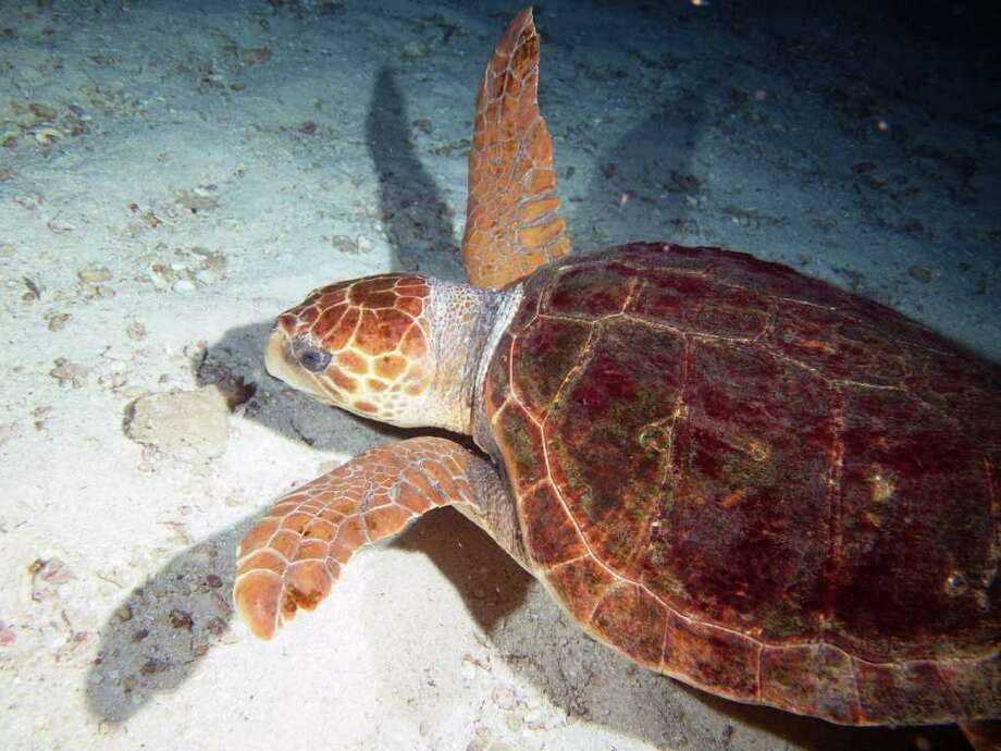 Flower Garden Banks National Marine Sanctuary Logger head turtle photographed at night. Photo: See Caption