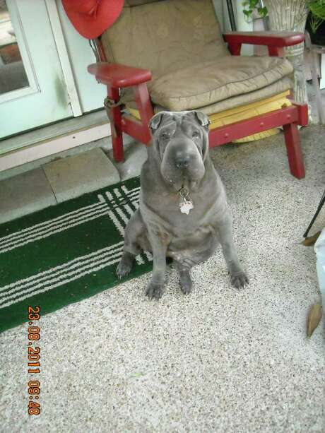 Chance, a Blue Shar Pei w/blue eyes who lives with Jo Ann Cude of Houston. For pets page Photo: Jo Ann Cude