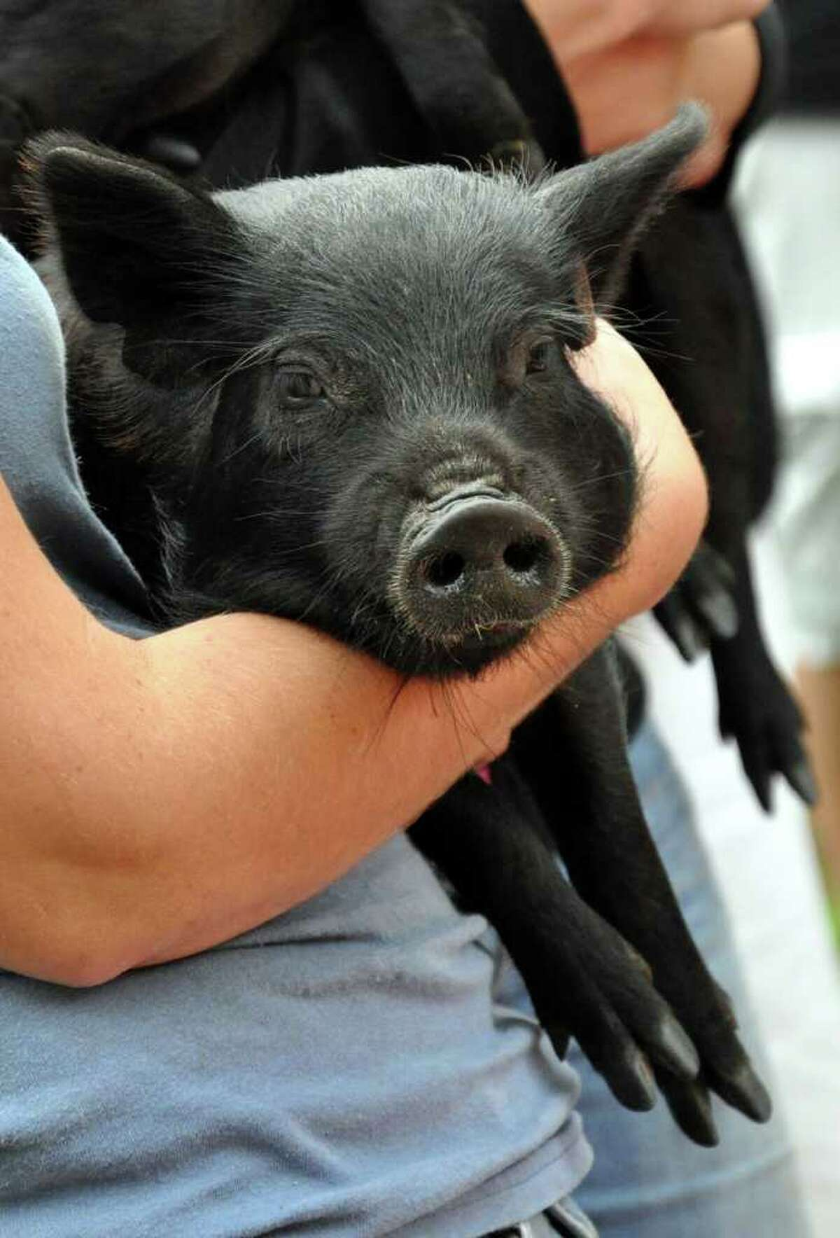 A female guinea hog rests in the arms of Farm Manager Victoria Marr after arriving at the Stamford Museum and Nature Center on Wednesday, Sept. 28, 2011. Two piglets were donated to the center from the Beardsley Zoo.