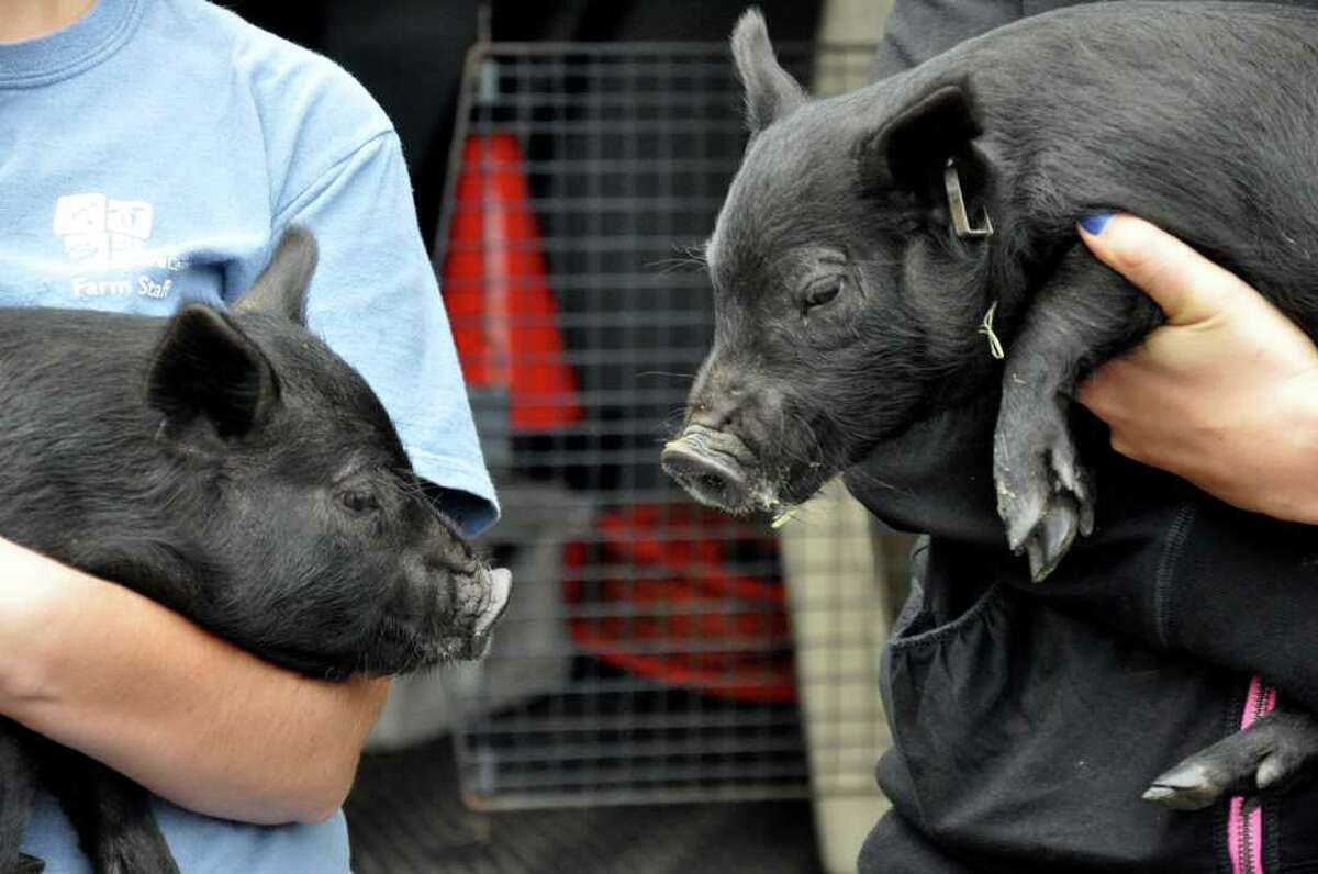Piglets arrive at the Stamford Museum and Nature Center on Wednesday, Sept. 28, 2011. The two female piglets were donated to the center from the Beardsley Zoo.