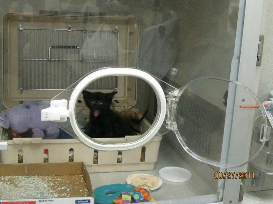 Tabitha, a 3- to-4-week-old kitten found badly crushed Monday in an Albany trash bin, is in an oxygen chamber at a Latham animal hospital. (Photo:  Orange Street Cats)