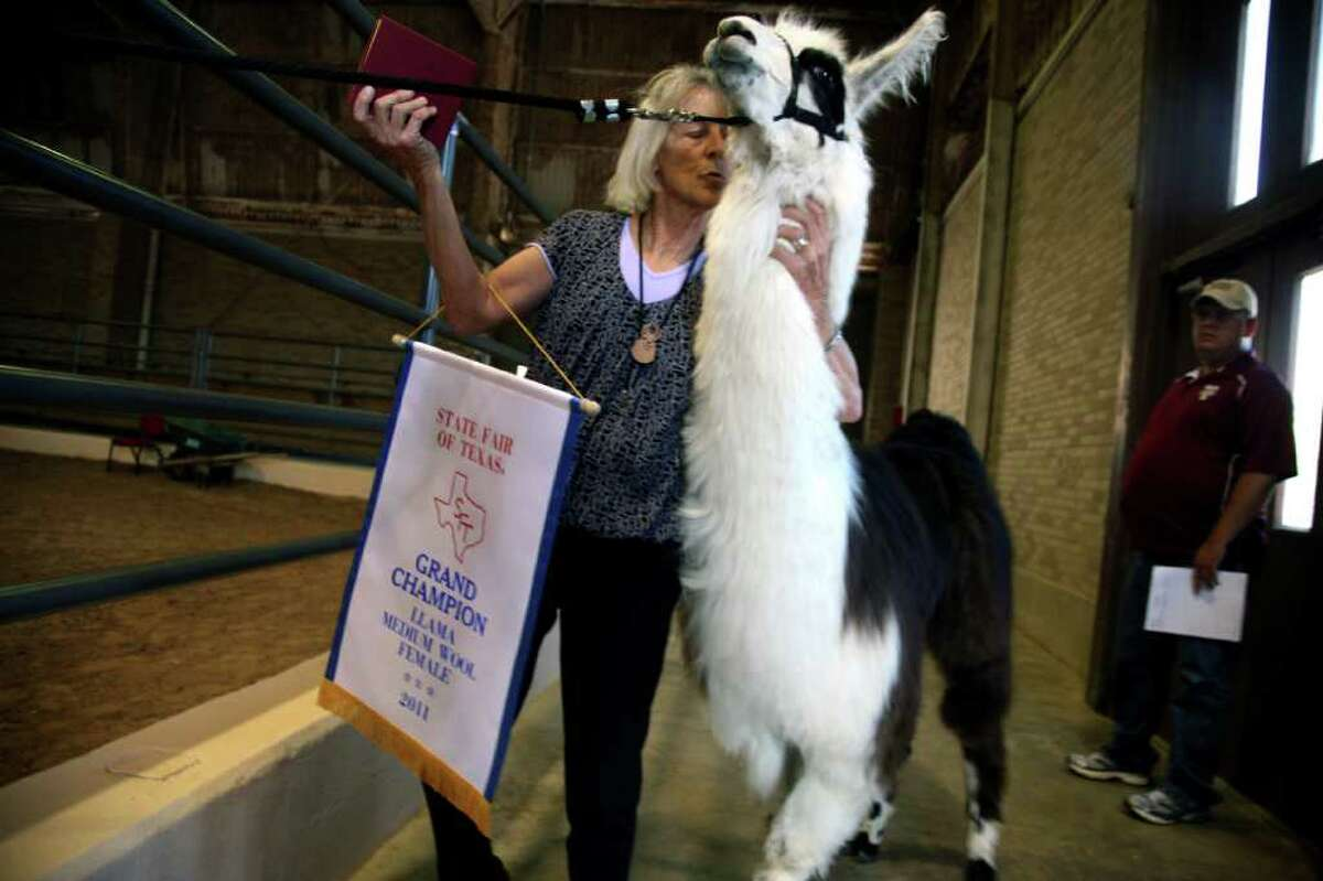 Chipotle Hot Sauce, a 21-month-old llama, is calmed by owner Mary Nell Doyle of Mariko Llamas in Krum, Texas after she won Grand Champion Medium Wool Female on the first day of the State Fair of Texas in Dallas Friday, Sept. 30, 2011.