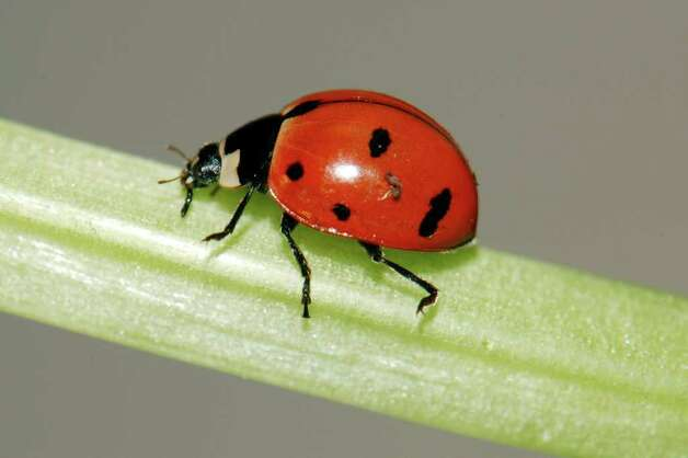 FILE - This June 18, 2009 photo provided by Cornell University shows a nine-spotted ladybug in a lab at Cornell in Ithaca, N.Y. The rare nine-spotted ladybug, subject of a nationwide citizen science project launched after it appeared the once-ubiquitous insect had gone extinct, has been found in New York state for the first time in 29 years. (AP Photo/Cornell University, Ellen Woods) Photo: Ellen Woods