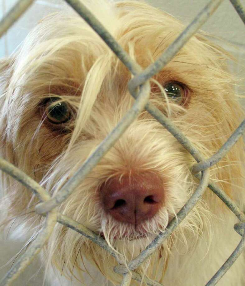 ZEN T.C. ZHENG: CHRONICLE TOUGH TIMES: This dog is among those in the Fort Bend County Animal Services' facility in Rosenberg. Photo: Zen T.C. Zheng