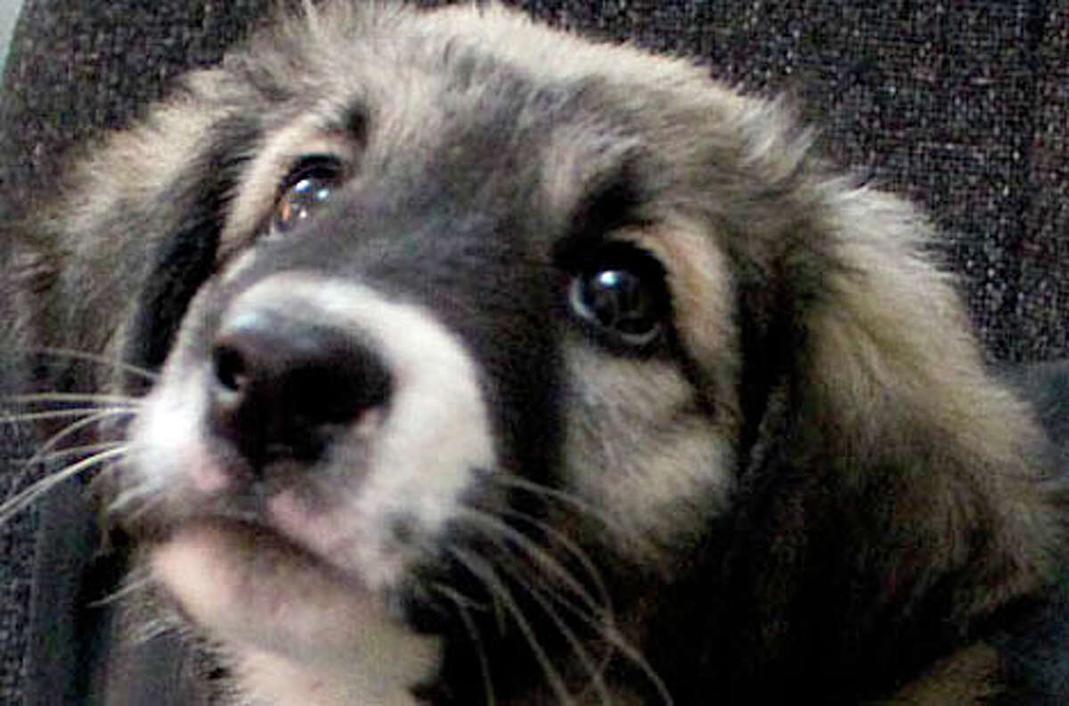 TOUGH PUP: Houston-based Marines found Bill while on patrol in Afghanistan, the lone survivor of a litter of six.