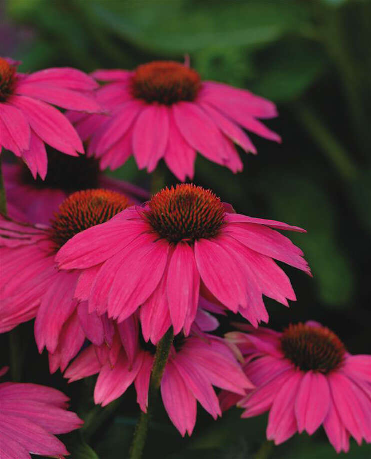 ALL-AMERICA SELECTIONS 'PowWow Wild Berry' echinacea / handout