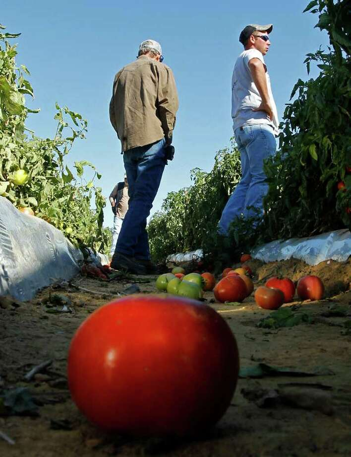 In a Monday, Oct. 3, 2011 photo, tomato farmer Chad Smith, right, looks over one of his fields of ripening tomatoes in Steele, Ala. Only a few of Smith's field workers showed up for work after Alabama's new immigration law took effect last week. Hispanic workers and their children are fleeing Alabama or going into hiding because of the state's strict new immigration law, which will surely deal a significant blow to the state's economy and may slow the rebuilding of Tuscaloosa and other tornado-damaged cities. The impact is being felt from construction sites to farms and schools, and it's driven by fears of being jailed and held without bond if police should catch them without the proper documentation. (AP Photo/Dave Martin) Photo: Dave Martin / AP