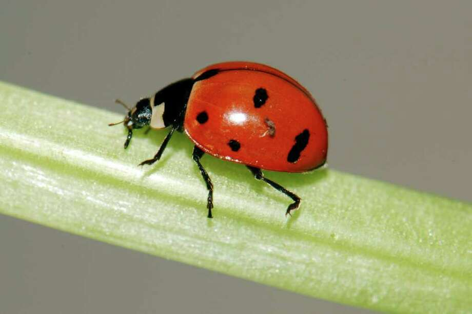 ASSOCIATED PRESS FILE COMEBACK: The nine-spotted ladybug, seen here in a lab at Cornell University, is New York's official state insect. Photo: Ellen Woods / AP2009