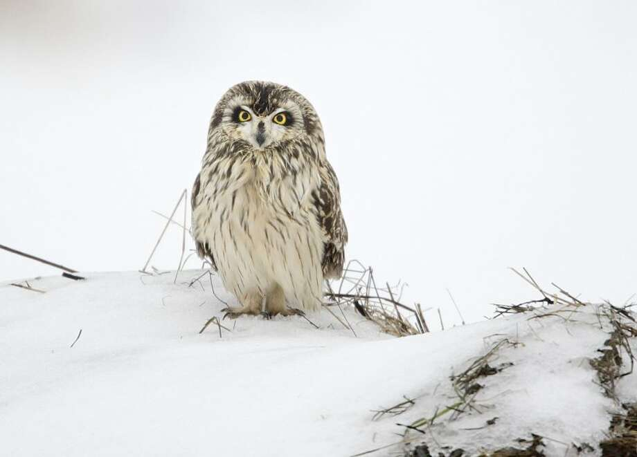 A short-eared owl peers out from a snowy field. (Courtesy of Gordon Ellmers)