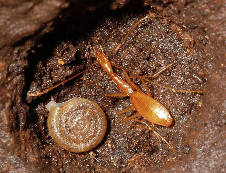 This rare species of eyeless beetle, Rhadine exilis, believed ti be living in a cave in North Bexar County that's near the site of a proposed NEISD middle school. Photo: Courtesy Jean Kreica