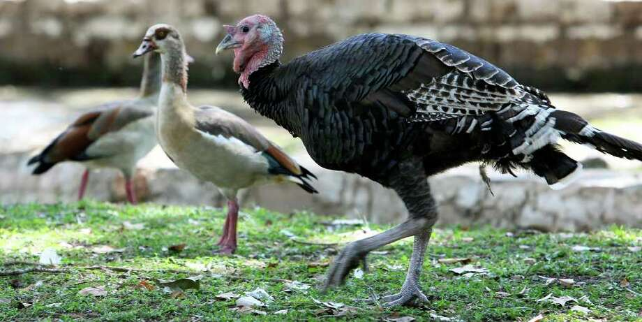 TOM REEL : SAN ANTONIO EXPRESS-NEWS HOME, SWEET HOME: The  wild turkey mingles with other fowl in New Braunfels' Landa Park. Photo: TOM REEL / © 2011 San Antonio Express-News