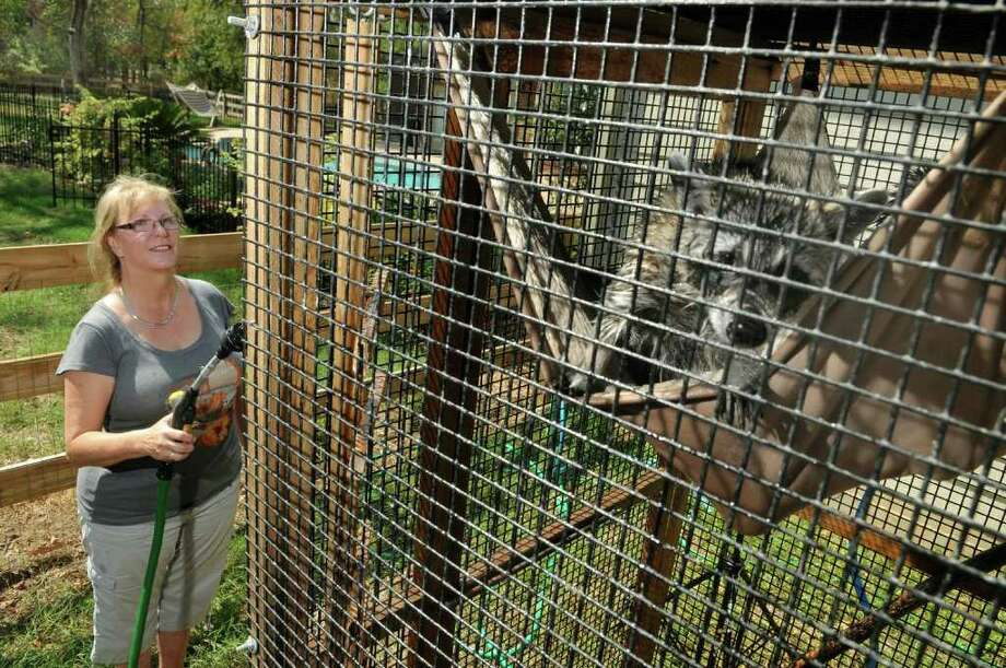 A young raccoon peeks out from his hammock while Cheryl Meyer, a volunteer wildlife rehabber, gives him a shower. Meyer is currently taking care of nine raccoons on her Magnolia property. Freelance photo by Jerry Baker Photo: Jerry Baker