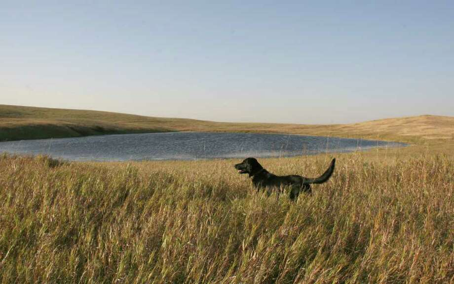 "PURE PRAIRIE - Pocked with thousands of ""potholes"" and other wetlands, eastern North Dakota holds some of continent's the finest waterfowl habitat, waterfowl hunting and some of the last remaining vestages of what was tens of millions of acres of native prairie. Photo: Shannon Tompkins"