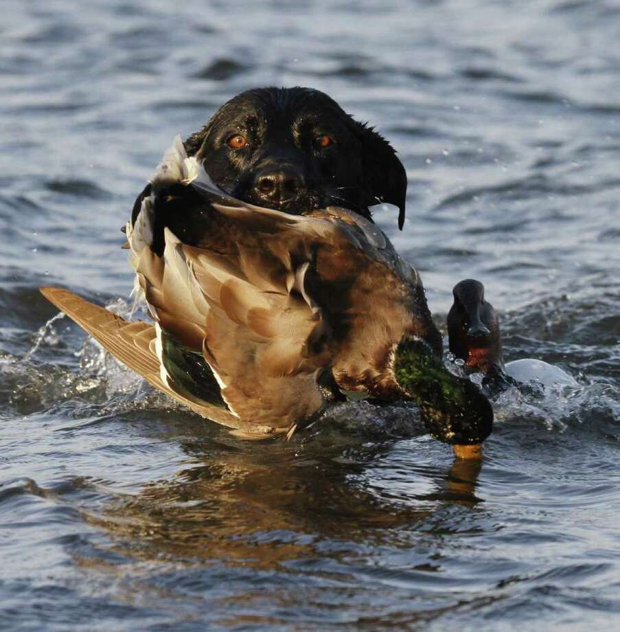 "MOUTHFUL OF MALLARD -  Bella the Lab returns with a drake mallard taken over decoys set on a North Dakota prairie wetland. Highly prized ""greenheads"" are one of the most common duckls on the prairie. Photo: Shannon Tompkins"