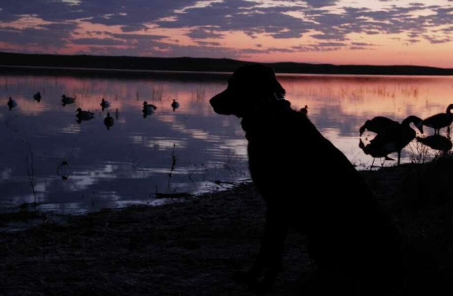 PRAIRIE DAWN - Bella, a young Laborador retriever, watches the sky with single-minded focus as dawn breaks over a North Dakota prairie pothole during a duck hunt this past week. Photo: Shannon Tompkins