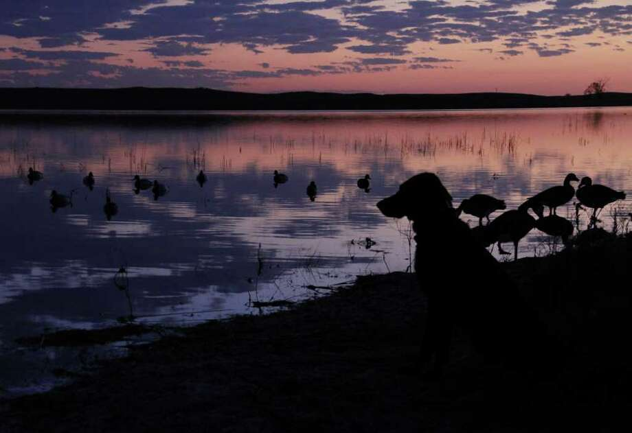 ANTICIPATION - Bella, a young Labrador retreiver, watches for ducks approaching decoys as dawn breaks over a North Dakota prairie pothole this past week. Photo: Shannon Tompkins