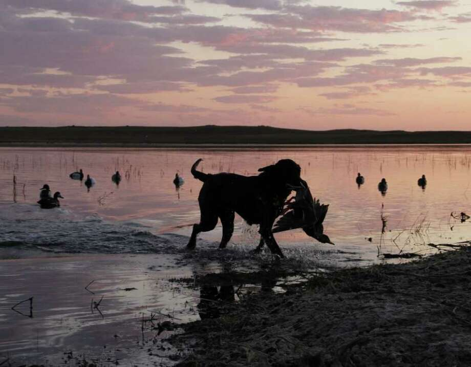 FIRST OF THE DAY - Bella, a Labrador retriever, returns with the first bird of the day during a waterfowl hunt on a North Dakota prairie pothole this past week. Photo: Shannon Tompkins
