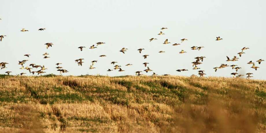 WATERFOWLING FIELD OF DREAMS  - Swarms of mallards pour into a harvested grainfield on the North Dakota prairie this past week. Photo: Shannon Tompkins