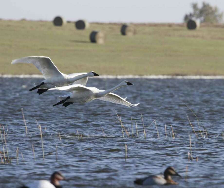 WATERFOWL B-52s - A pair of tundra swans glide toward a landing among duck decoys on a North Dakota prairie pothole. Photo: Shannon Tompkins