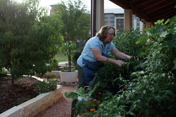 Bethany Wiltse, Culinary Gardner at the JW Marriott San Antonio Hill Country Resort and Spa, picks vegetables for 18 Oaks, one of the resort's restaurants. She's learned to coexist with deer, to fend off pests and deal with the effects of drought.