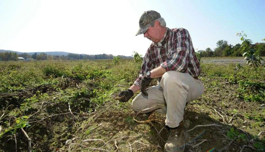 Farmer Albert Sheldon looks over his potato field in Salem, N.Y. October 10, 2011.   (Skip Dickstein / Times Union) Photo: SKIP DICKSTEIN / 2011