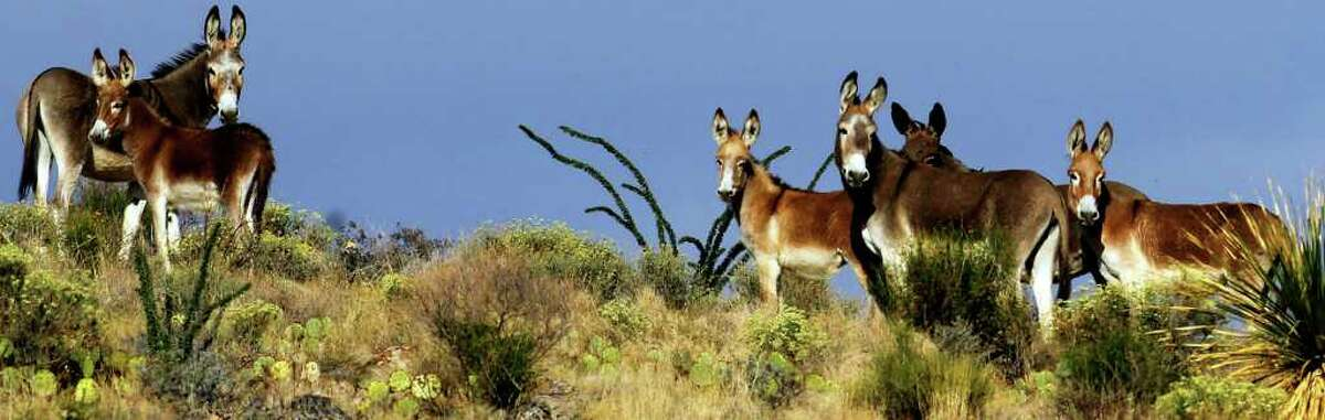Wild burros at Big Bend Ranch State Park near Presideo, Texas pause on top of a ridge near a remote area called Fresno Canyon.
