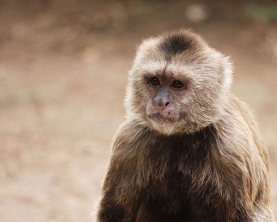 Image of capuchin monkey, similar to a 30-year-old primate missing from its home in Bandera County Photo: Courtesy Photo