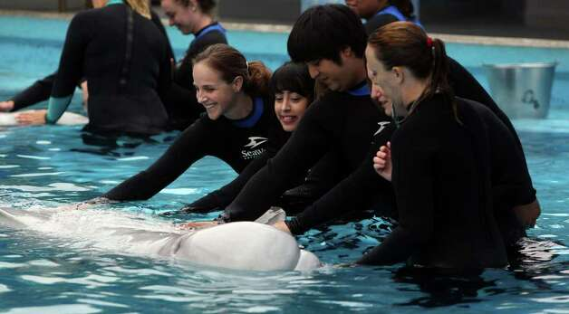 St. Mary's University Professor Heather Hill (left) gets close to a beluga whale at SeaWorld San Antonio with students. Photo: John Davenport/jdavenport@express-news.net / jdavenport@express-news.net