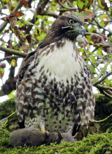 WILDRESCUE VIA AP OUCH!: This red-tailed hawk was spotted in Golden Gate Park in San Francisco. Photo: Rebecca Dmytryk / Courtesy of WildRescue, Rebecca