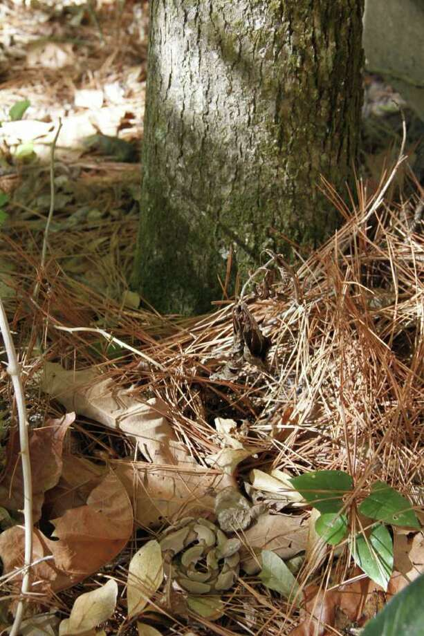 WELL-HIDDEN WOODLAND VIPER: A perfectly camouflaged southern copperhead rests coiled near the base of a pine tree in Montgomery County. Photo: Shannon Tompkins